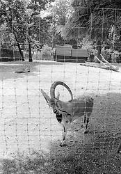 An unidentified variety of longhorn sheep at the Parc Zoologique de Paris in the Bois de Vincennes, Tuesday, June 10, 1984, in Paris. (Photo by D. Ross Cameron)