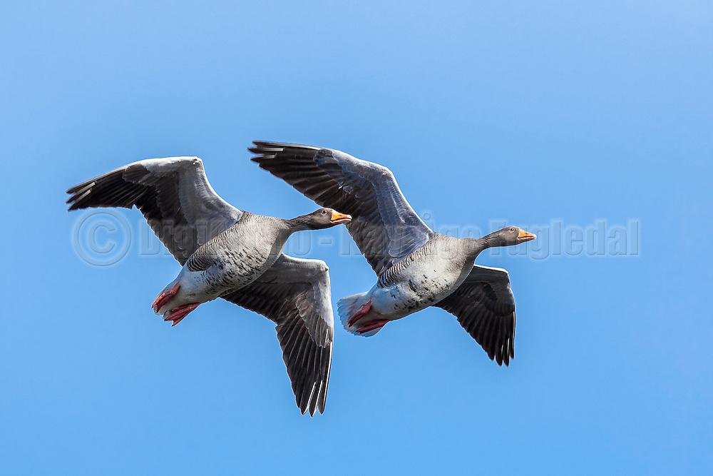 Grågås i flukt   Escaping Grey goose