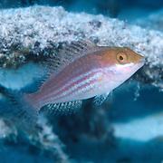 Greenblotch Parrotfish inhabit mid-range to deep reefs, often along steep, sloping drop-offs in Tropical West Atlantic; picture taken Key Largo, FL.