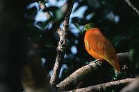 Orange Dove (Ptilinopus victor) in the rain forest of Taveuni Island, Fiji.  Endemic to Fiji.