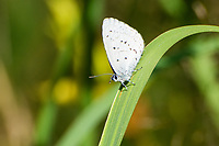 The national butterfly of Finland, this tiny and fast-flying gossamer-wing butterfly is found across much of the world in the Northern Hemisphere. Like most blues, the underwings are spotted and splotched in specific patterns that are important for species identification, but the upper wings are often bright blue, hence their name. Unfortunately they seldom rest with their wings spread. This one was one of about a dozen found frantically skittering around a duck pond near Soos Creek in Kent, Washington State on a very hot summer day.