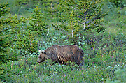 Grizzly bear (Ursus arctos horribilis) <br />Banff National Park<br />Alberta<br />Canada