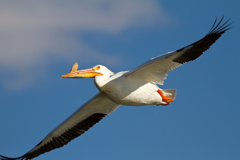 Single White Pelican with yellow plate on its bill indicates it is a breeding adult as it soars in flight near CJ Strike Reservoir on the Snake River near Homedale, Idaho. The American White Pelican (Pelecanus erythrorhynchos) is a large aquatic bird from the order Pelecaniformes. It breeds in interior North America, moving south and to the coasts, as far as Central America, in winter. Licensing and Open Edition Prints