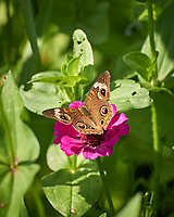 Common Buckeye Butterfly. Image taken with a Leica CL camera and 55-135 mm lens