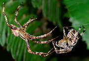 Close-up of both male and female Garden spiders (Araneus diadematus) during a courting display prior to mating in a Norfolk wood in late summer
