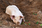 Small pig piglet lying in mud resting lazily. Smaland region. Sweden, Europe.