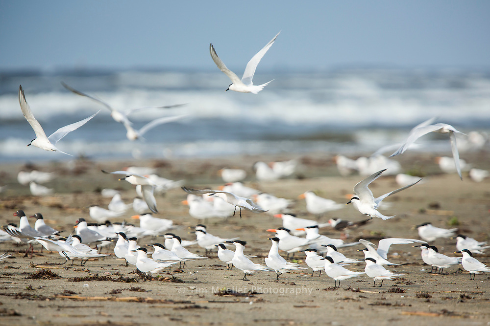 Sandwich Terns foreground and Royal Terns gather on the beach at Grand Isle, Louisiana. Grand Isle offers a wide selection of birding habitats, from salt marsh and bays to sand dune beaches and forest.