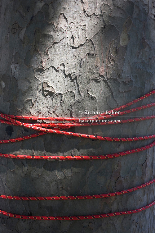 Red cord wrapped around London Plain tree trunk.