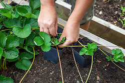 Layering strawberry plants into plastic pots - pinning down runners with wire