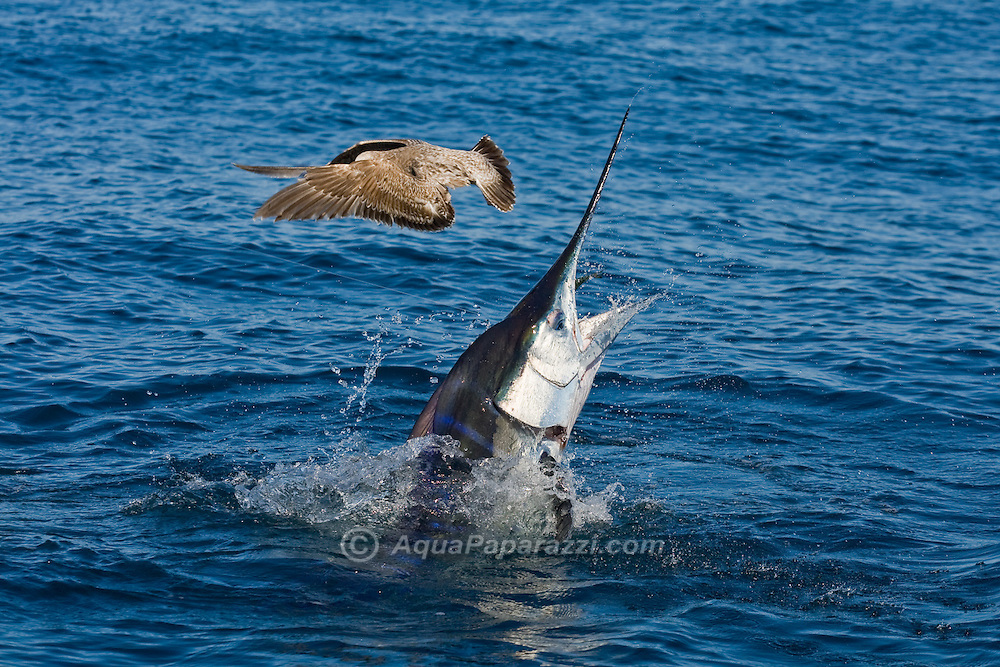 Jumping Striped Marlin nearly spears a gull looking for a free meal.Striped Marlin