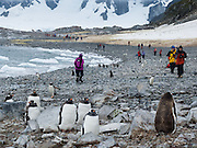 "People watch Gentoo Penguins (Pygoscelis papua) emerge from iceberg bejeweled waters of the Southern Ocean to waddle to their summer colony on Cuverville Island, Antarctica. An adult Gentoo Penguin has a bright orange-red bill and a wide white stripe extending across the top of its head. Chicks have grey backs with white fronts. Of all penguins, Gentoos have the most prominent tail, which sweeps from side to side as they waddle on land, hence the scientific name Pygoscelis, ""rump-tailed."" As the the third largest species of penguin, adult Gentoos reach 51 to 90 cm (20-36 in) high. They are the fastest underwater swimming penguin, reaching speeds of 36 km per hour. The rocky Cuverville Island is in Errera Channel off the west coast of Graham Land, the north portion of the Antarctic Peninsula. The island was discovered by the Belgian Antarctic Expedition (1897-1899) under Adrien de Gerlache, who named it for J.M.A. Cavelier de Cuverville (1834-1912), a vice admiral of the French Navy. Cuverville Island or Île de Cavelier de Cuverville is located at 64 degrees 41 minutes South Latitude and 62 degrees 38 minutes West Longitude."