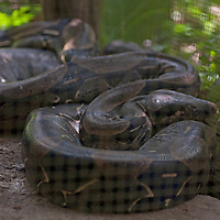 A Boa Constrictor sleeps in its cage at Pilpintuwasi Butterfly Farm and Amazon Animal Orphange near Iquitos, Peru.
