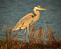 Great Blue Heron. Black Point Wildlife Drive, Merritt Island National Wildlife Refuge. Image taken with a Nikon D800 camera and 400 mm f/4 lens (ISO 200, 400 mm, f/4, 1/1600 sec).