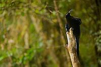 Black Sicklebill BIrd of Paradise (Epimachus fastuosus).  Adult male perched on his display pole...