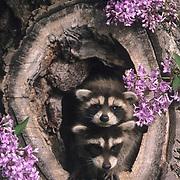Raccoon, (Procyon lotor) Young in hollow log. Spring. Montana. Captive Animal.