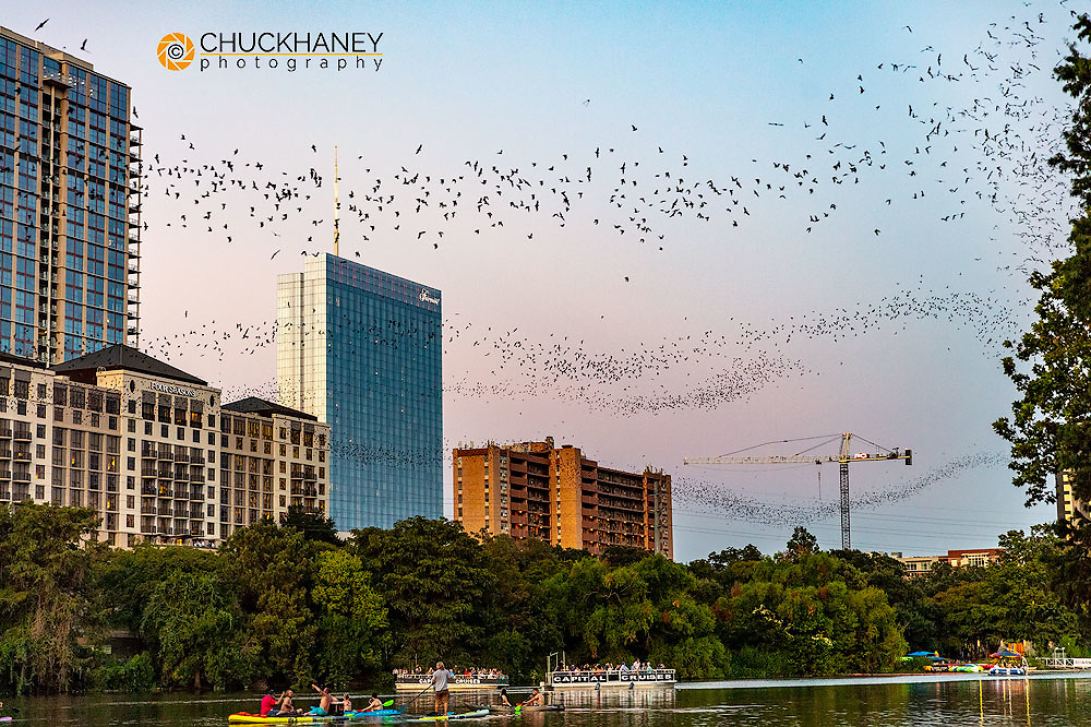 Mexican free tailed bats fly from the Congress Street Bridge at dusk in Austin, Texas, USA