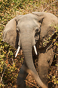 Adolescent Male African Elephant, Luangwa River Valley, Zambia, Africa