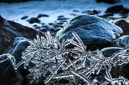 Is på grenar vid havet efter storm på Upplandskusten.