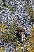 Wild Stone sheep (Ovis dalli stonei) in habitat