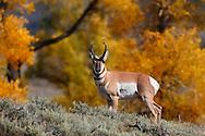 Antílope Americano, Lamar Valley, Yellowstone NP, Wyoming (Estados Unidos)