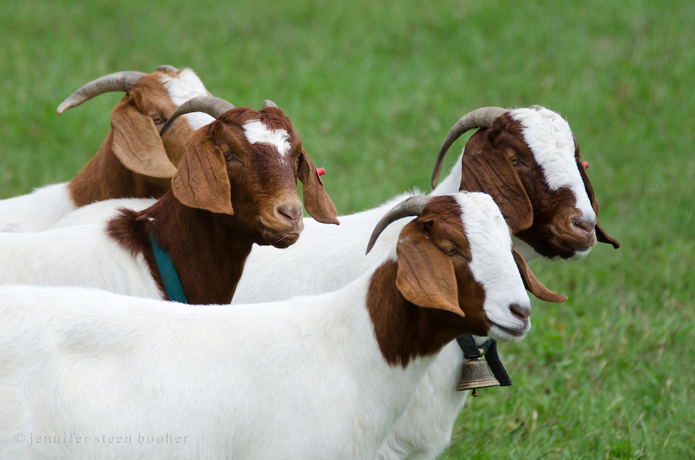 Side view of four brown-and-white domestic short-hair goats (Capra aegagrus hircus) in a green field, Common Ground Fair, Unity, Maine.
