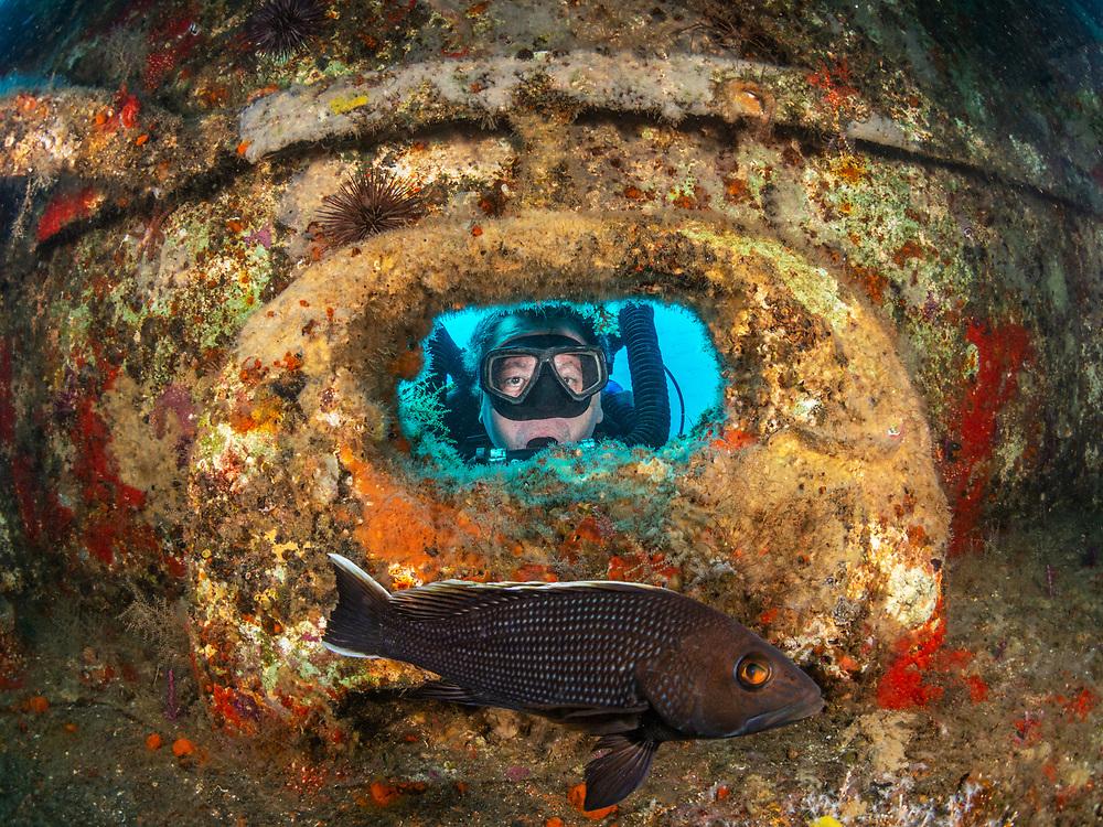Black sea bass and a KISS rebreather  scuba diver on USCGC Spar Shipwreck in North Carolina, USA