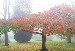 Prunus 'Shirotae' syn. Prunus 'Mount Fuji', Prunus 'Hosokawa' on a misty morning in Bath Botanic gardens. Japanese cherry, Ornamental cherry