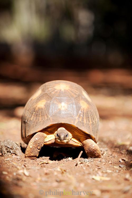 A Radiated Tortoise, Berenty Reserve, Madagascar