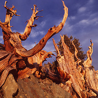Sunset light on ancient trunks in CA's White Mts. (oldest living things).