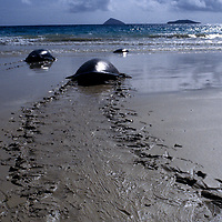 The Galápagos green turtle