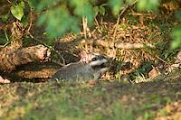 VIZCACHA (Lagostomus maximus) SALIENDO DE LA MADRIGUERA, PARQUE NACIONAL EL PALMAR, ARGENTINA