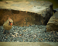 Female Northern Cardinal. Image taken with a Nikon D4 camera and 600 mm f/4 VR lens (ISO 360, 600 mm, f/4, 1/400 sec).