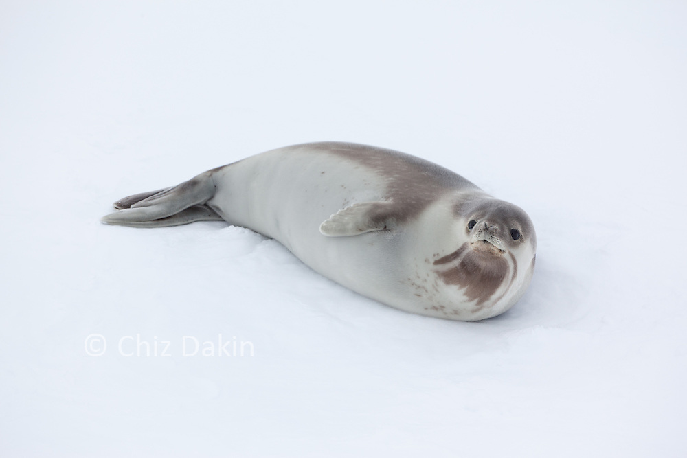 A very rare Ross Seal (Ommatophoca rossii),(looking up at the viewer) resting on the pack ice, Amundsen Sea, Antarctica