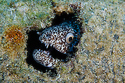 Reticulate Moray (Muraena retifera)<br /> BONAIRE, Netherlands Antilles, Caribbean<br /> HABITAT & DISTRIBUTION: Reefs, ledges & rocky areas in moderate depths well offshore.<br /> Florida, Caribbean, Gulf of Mexico & north to New England