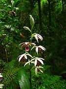 Orchid, Lyon Arboretum, Manoa Valley, Honolulu, Oahu, Hawaii