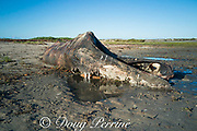 decomposing carcass of gray whale, Eschrichtius robustus, on shores of San Ignacio Lagoon, El Vizcaino Biosphere Reserve, Baja California Sur, Mexico; a baleen plate is visible at center frame behind two strips of skin hanging into the water