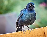 Brewer's Blackbird (Euphagus cyanocephalus). Marriott Residence Inn, South San Francisco, California. Image taken with a Nikon D300 camera and 18-200 mm VR lens.