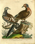 Columba The triangular Spotted Guinea Pigeon (Left) The Marginated long-tails Dove Handcolored copperplate engraving From the Encyclopaedia Londinensis or, Universal dictionary of arts, sciences, and literature; Volume IV;  Edited by Wilkes, John. Published in London in 1810