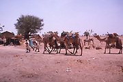 Life in the Sahel region of northern Nigeria, west Africa, early 1980s - camels being led into a village