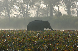 Elephants roam inside the Kaziranga National Park in Assam, eastern India where thousands of tourists visit each year January 4, 2004. India and its sacred elephants are threatened by deforestation and encroachment of the reserved land and natural forests.  As a result, wild elephants are rampaging through villages, killing people and destroying their homes and crops. (Ami Vitale)
