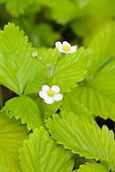 Alpine strawberry 'Golden Alexandria' - Fragaria vesca
