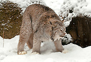 Lynx (captive), north of Haines, Alaska