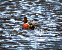 Cinnamon Teal (Spatula cyanoptera). Arapaho National Wildlife Refuge. Image taken with a Nikon D300  camera and 80-400 mm VR lens