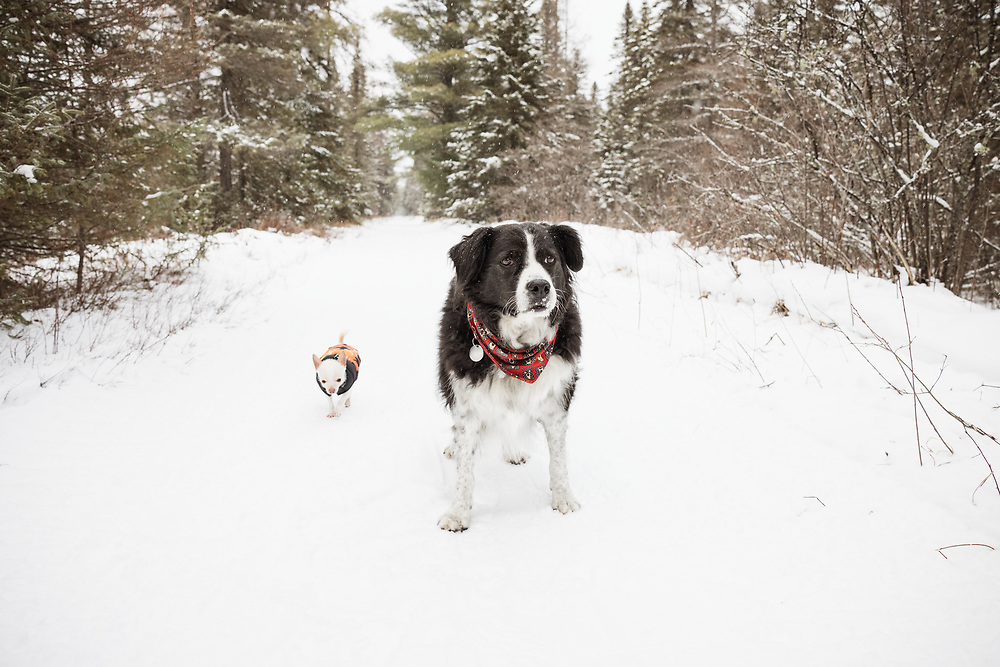 Black and white Australian Shepherd standing in the middle of the Bloomington Bog Trail in the Adirondack Park of New York, followed by a teacup Chihuahua