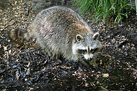 A raccoon looking for a treasure at The Gil in Central Park, May 25, 2021.