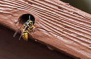 A yellowjacket emerges from a hole in a deck railing on May 11, 2017, in Salmon, Idaho. (© 2017 Cindi Christie/Cyanpixel)