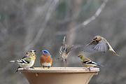 Goldfinches, Eastern bluebirds, and a Cedar wax-wing at a birdbath.
