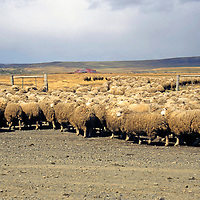 Americas, South America, Chile, Puerto Natales. Sheep herding in Patagonia.