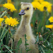 Canada Goose (Branta canadensis), a young gosling in dandelions during the spring in the Rocky Mountains of Montana. Animal in controlled situation