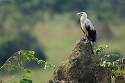Palm-nut Vulture (Gypohierax angolensis)<br /> Lango Bai<br /> Republic of Congo (Congo - Brazzaville)<br /> AFRICA<br /> HABITAT & RANGE: Forests & savannah of sub-Saharan Africa